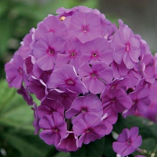 Флокс метельчатый Flame Lilac
