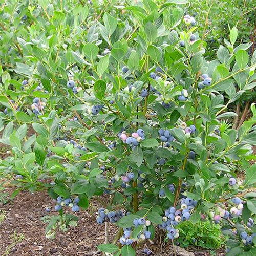 Голубика садовая Bluecrop