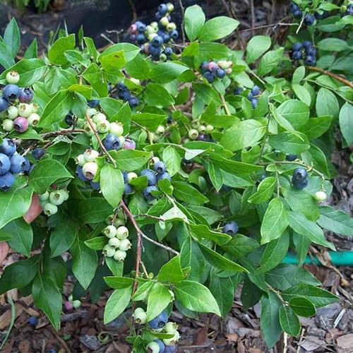 Голубика садовая Джерси