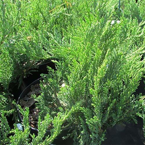 Можжевельник казацкий Tamariscifolia