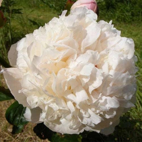 Пион молочноцветковый Alice Harding