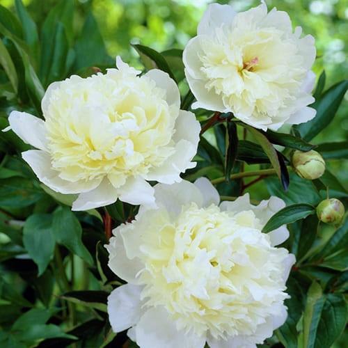 Пион молочноцветковый Duchesse de Nemours