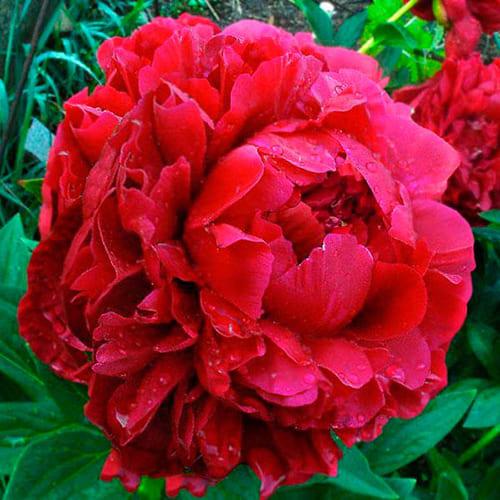 Пион молочноцветковый Henry Bockstoce
