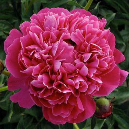 Пион молочноцветковый Kansas