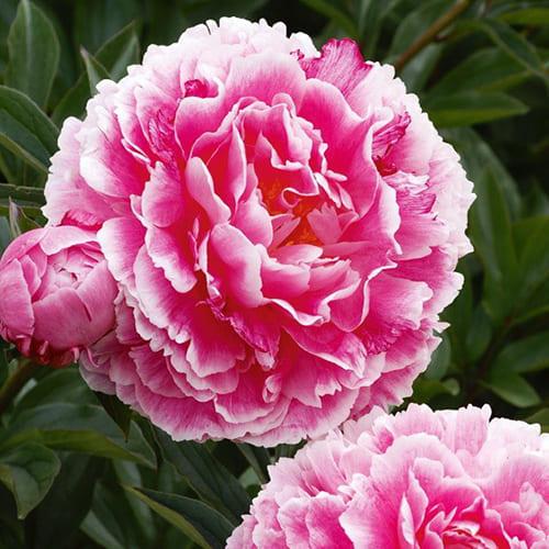 Пион молочноцветковый Koningin Wilhelmina