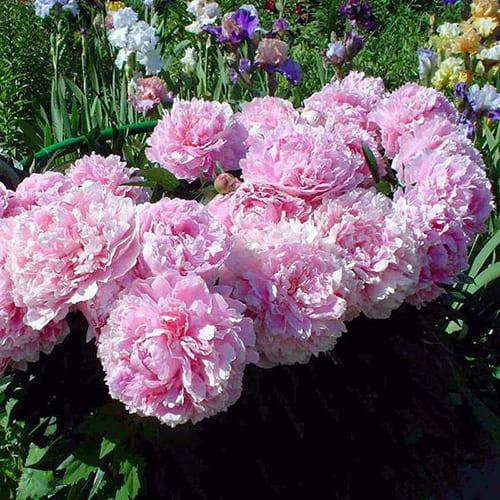 Пион молочноцветковый Sarah Bernhardt