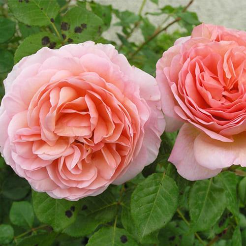Роза английская Abraham Darby
