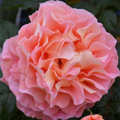 Роза чайно-гибридная Augusta Luise