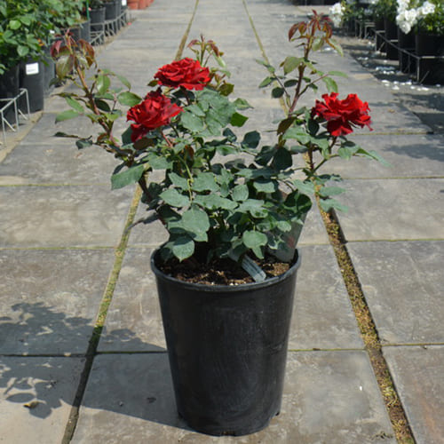Роза флорибунда Hommage a Barbara