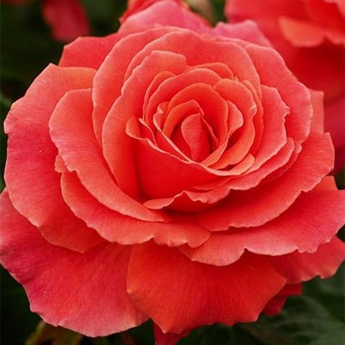 Роза флорибунда I am Macmillan