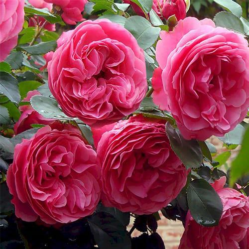 Роза флорибунда Leonardo da Vinci