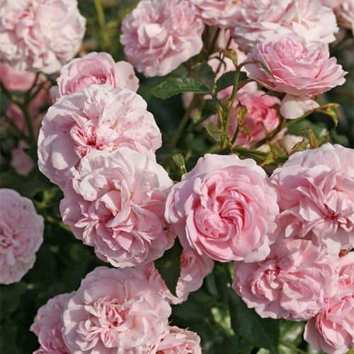 Роза флорибунда Mariatheresia