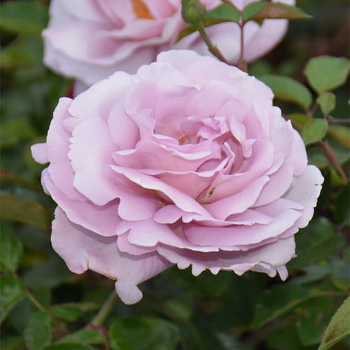 Роза флорибунда Rose Synactif by Shiseido