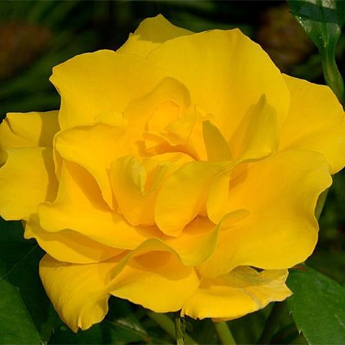Роза флорибунда Stuttgardia