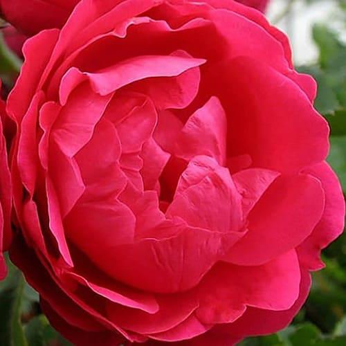 Роза канадская Alexander Mackenzie