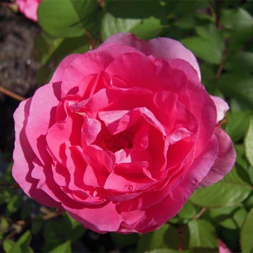 Роза канадская Morden Centennial