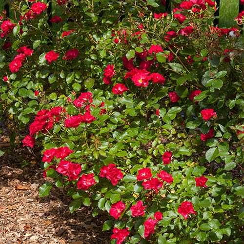 Роза почвопокровная Rote The Fairy