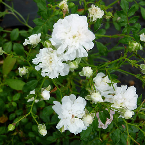 Роза Почвопокровная White Fairy