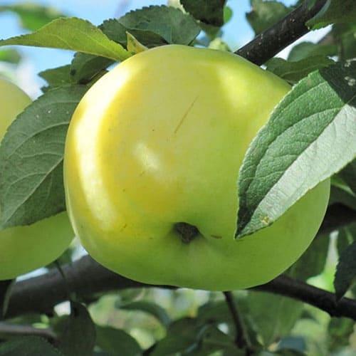 Яблоня Антоновка зимняя