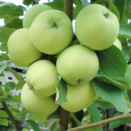 Яблоня Папировка летняя