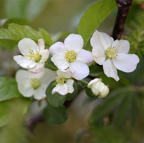 Яблоня Зибольда (торинго)