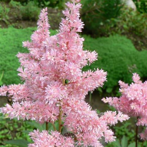 Астильба японская Peach Blossom