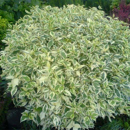 Дерен белый Ellegantissima