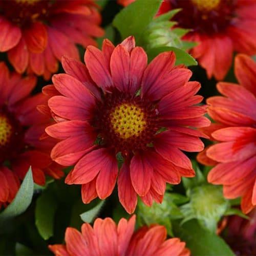 Гайлардия крупноцветковая Spintop Red