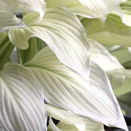 Хоста гибридная White Feather