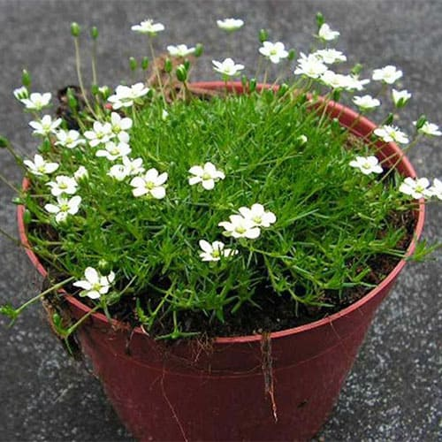 Мшанка шиловидная Green Moss