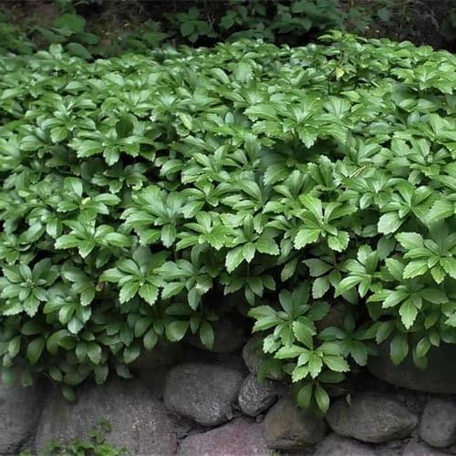 Пахизандра верхушечная Green Carpet