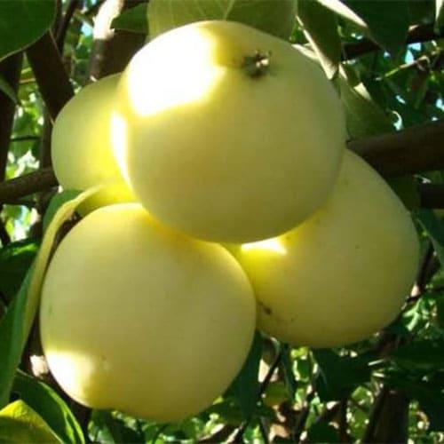 Яблоня Белый Налив летняя