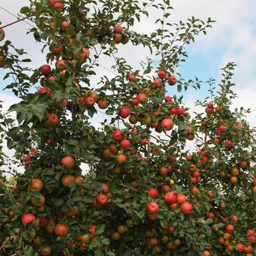 Яблоня зимняя Хоней Крисп