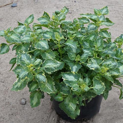 Зеленчук Gold Crown