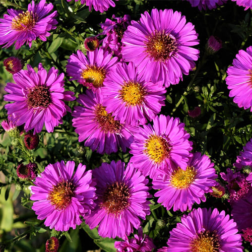 Астра кустарниковая Pink Beauty