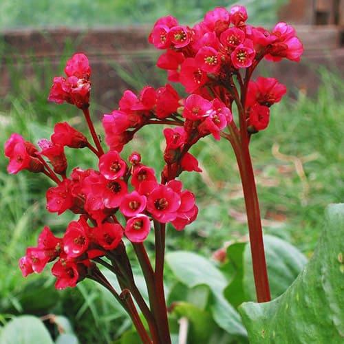 Бадан сердцелистный Rouge Red