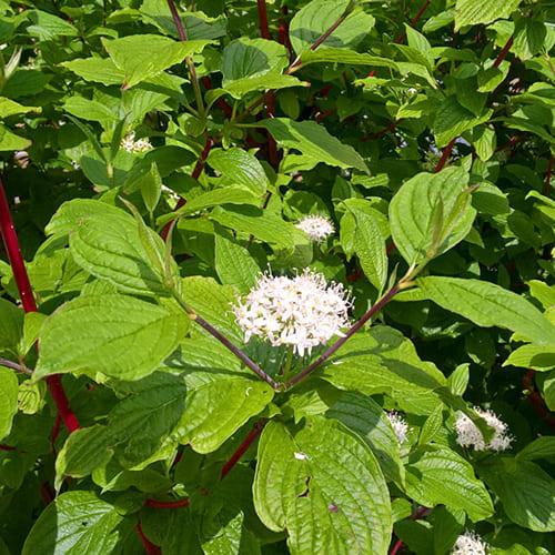 Дерен белый Sibirica