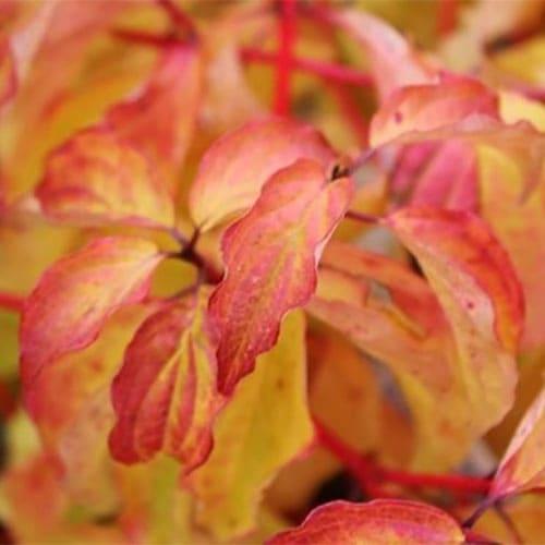 Дерен кроваво-красный Anny's Winter Orange