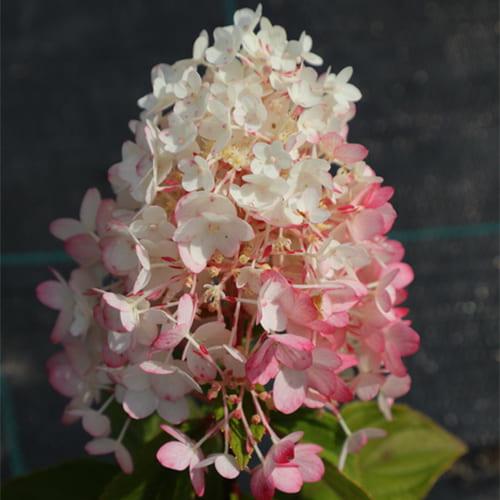 Гортензия метельчатая Strawberry Blossom