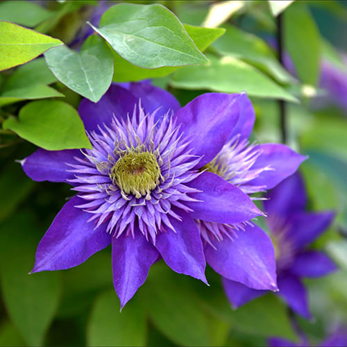 Клематис гибридный Multi Blue