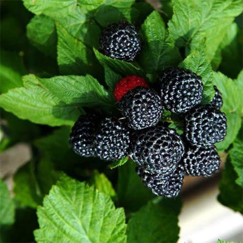 Малина черная Black Jewel