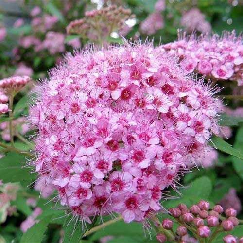 Спирея березолистная Pink Sparkler