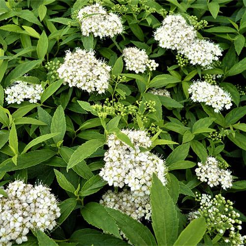 Спирея японская Albiflora