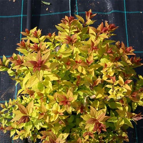 Спирея японская Golden Carpet