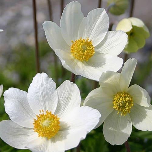 Анемона лесная Blanc White