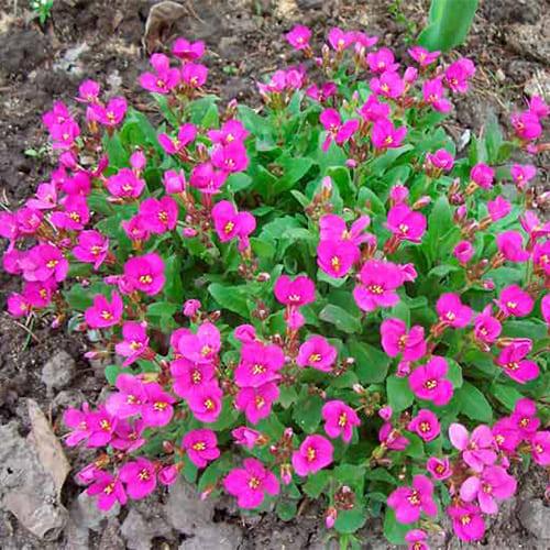 Арабис кавказский розовый