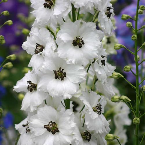 Дельфиниум высокий M.F. White Dark Bee