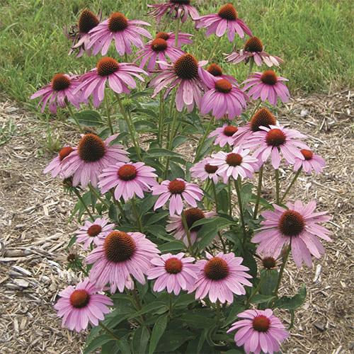 Эхинацея пурпурная Prairie Splendor Deep Rose