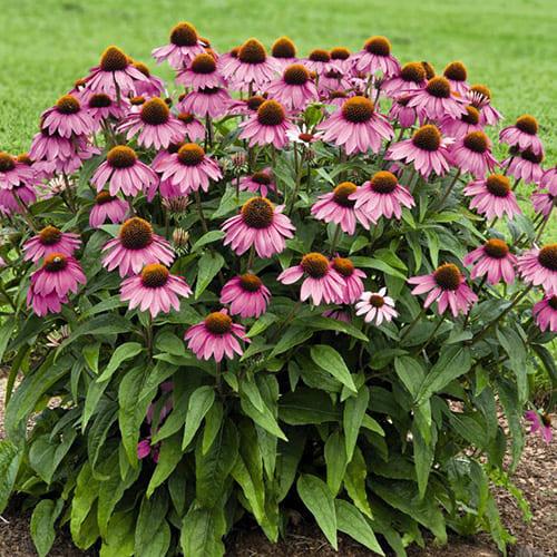 Эхинацея пурпурная Primadonna Deep Rose