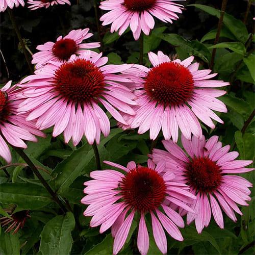 Эхинацея пурпурная Rubinstern